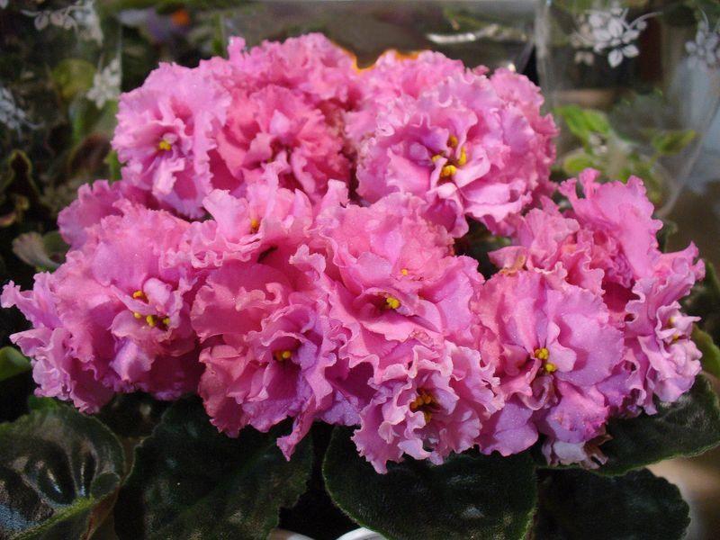 Выращивание фиалок, размножение фиалки в домашних условиях