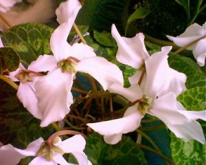 Комнатные растения. Цикламены