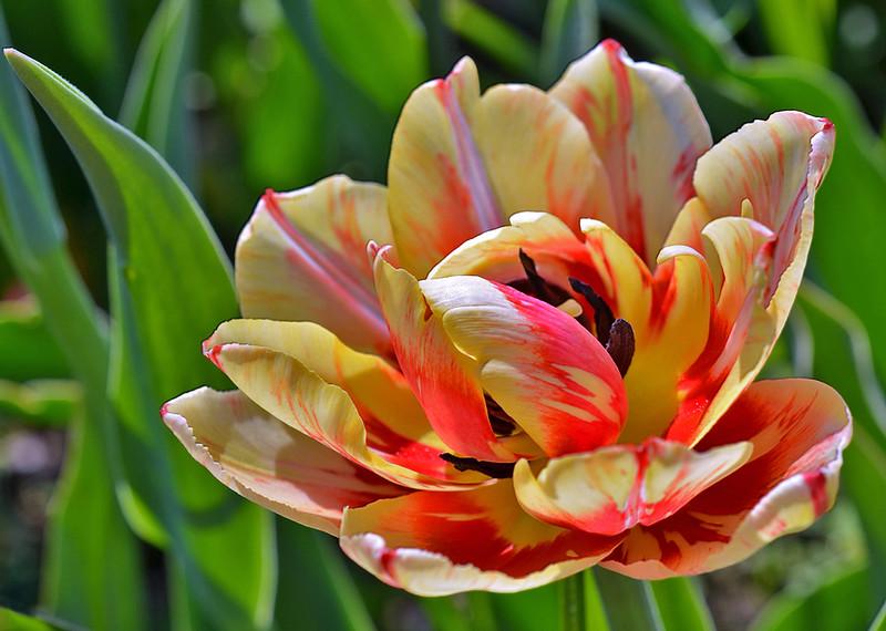 Тюльпан «Голден Ницца»