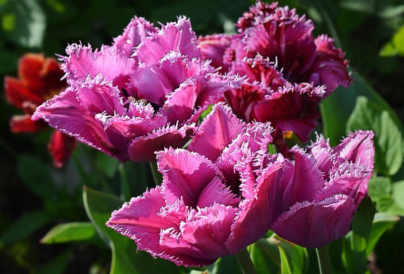 Тюльпан Mascotte (Маскотт)