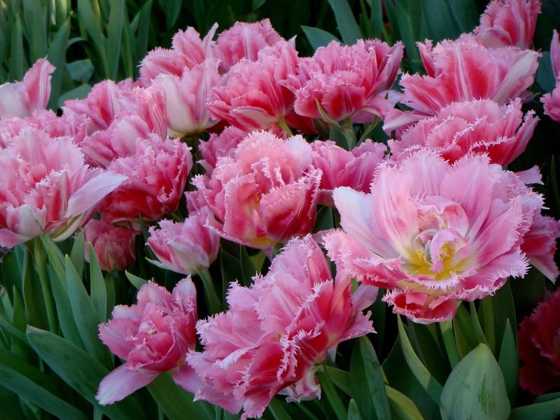 Прекрасные тюльпаны и их разновидности