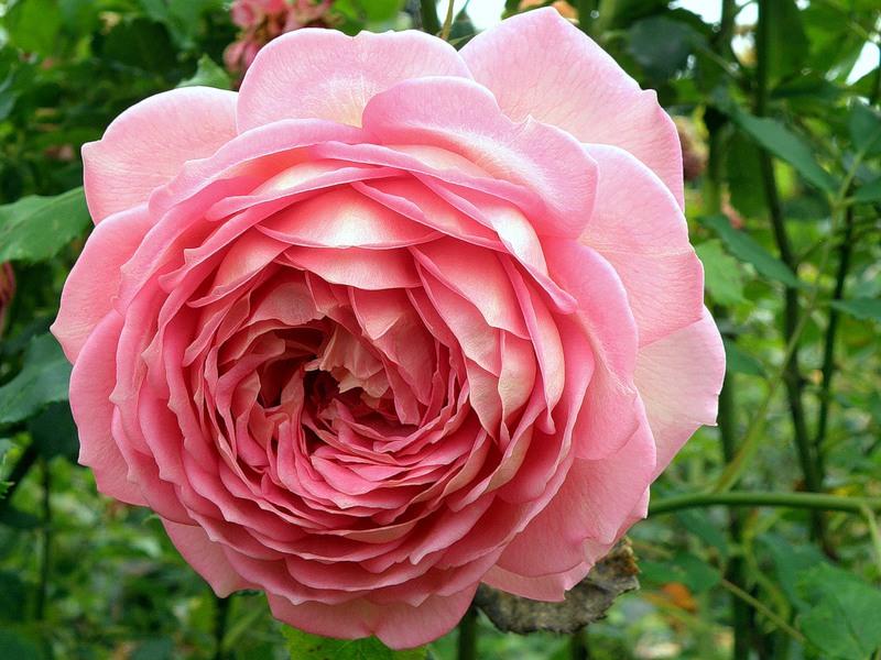 Королевские ботанические сады Кью! Англия. Розы