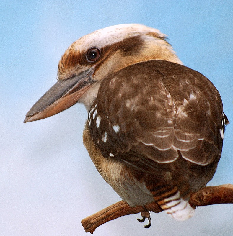 Новогвинейская Кукабарра - Laughing Kookaburra