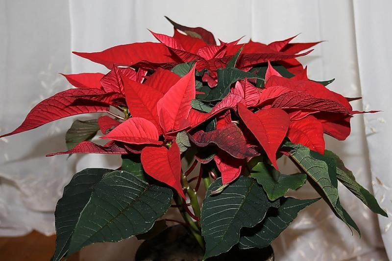 Рождественская звезда или Пуансеттия!