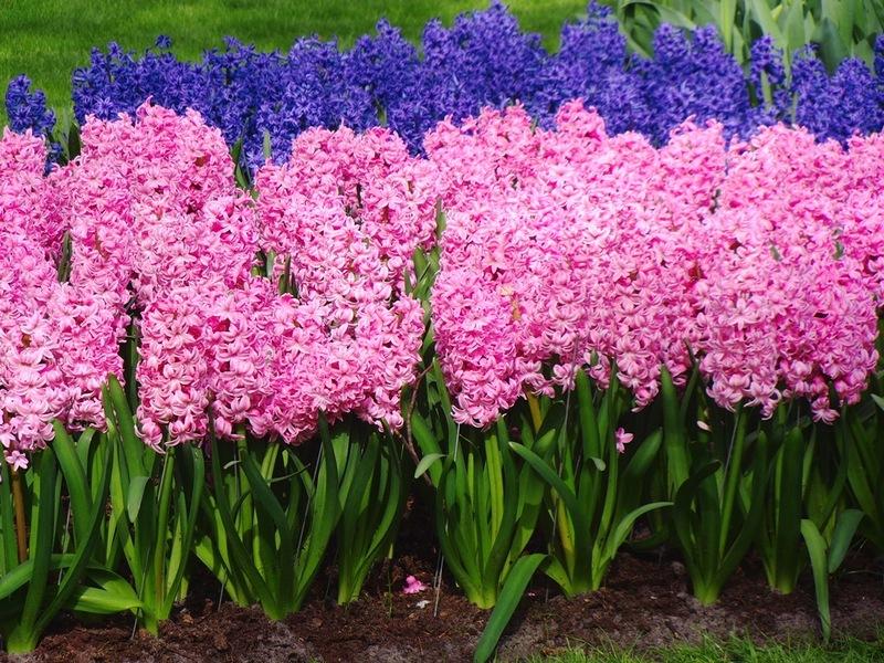 Кёкенхоф, Королевский парк цветов в Нидерландах