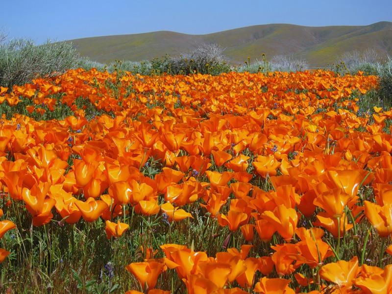 Калифорнийские маки в долине Антилоп
