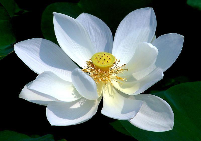 Прекрасный цветок лотоса!