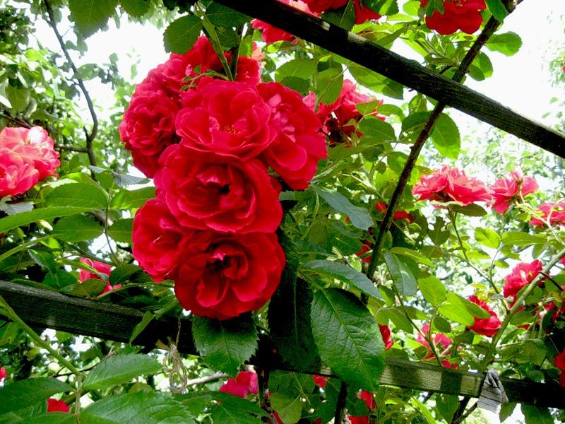 Как подготовить розы к зиме!