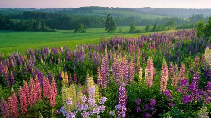 Красочный мир люпинов! Выращивание и размножение!