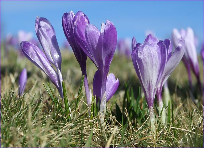 Цветение крокусовых полей! Саксонские крокусы, в деревне Дребах!