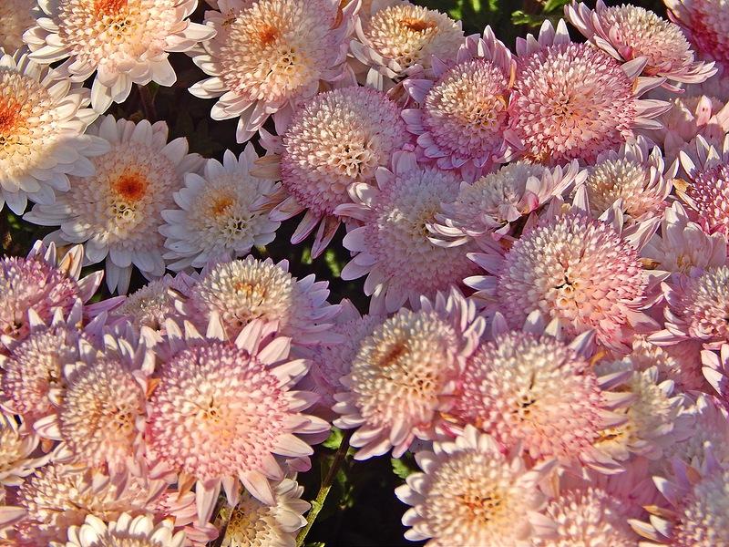 Великолепная хризантема! Выращивание, размножение, уход!