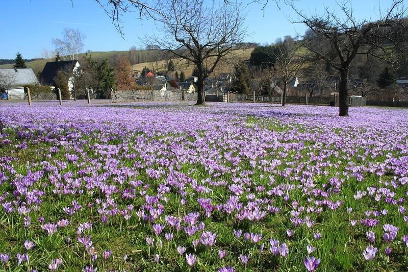 Цветение крокусовых лугов! Саксонские крокусы, в деревне Дребах!