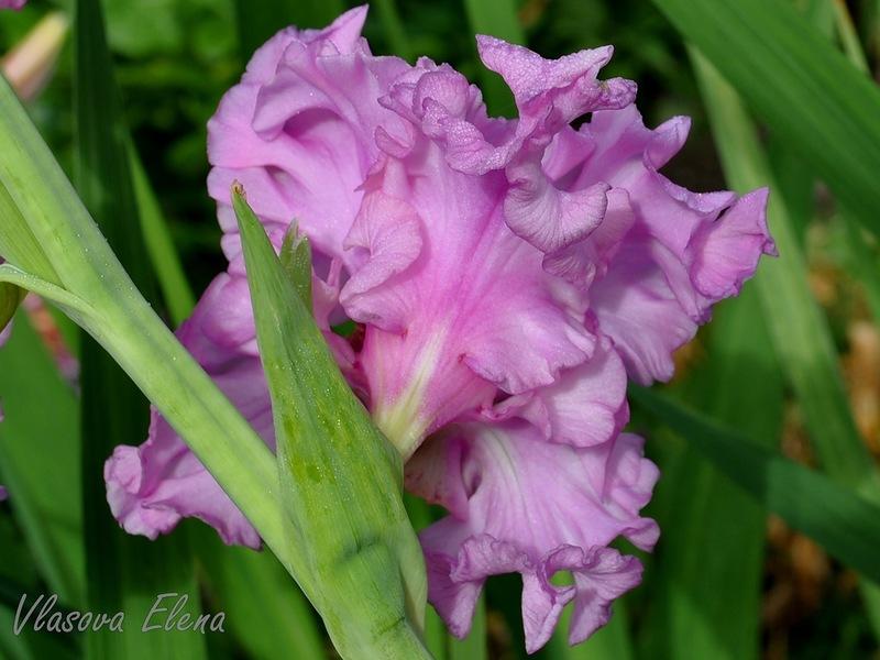 Как вырастить красивые и здоровые сорта гладиолусов!