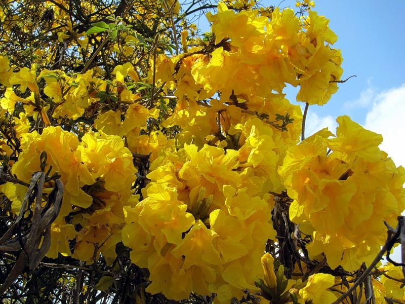 Красиво цветущие деревья и кустарники. Ботанический сад  Лос-Анжелеса
