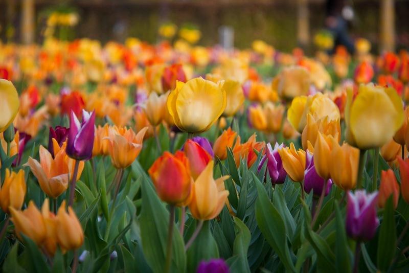 Кёкенхоф — уникальный парк цветов в Нидерландах