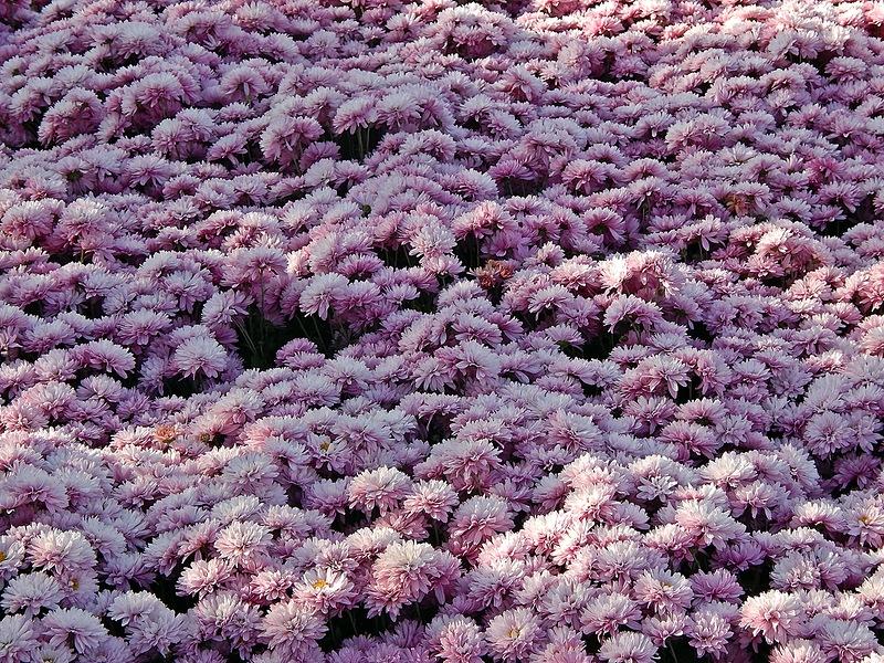 Бал Хризантем в Ботаническом саду. Крым