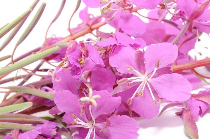 Цветы кипрея. Иван чай