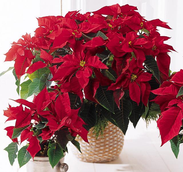 Рождественский цветок - Пуансеттия