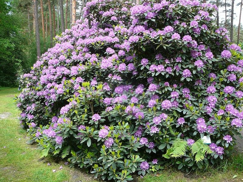 Парк рододендронов Бабите - Латвия Рига