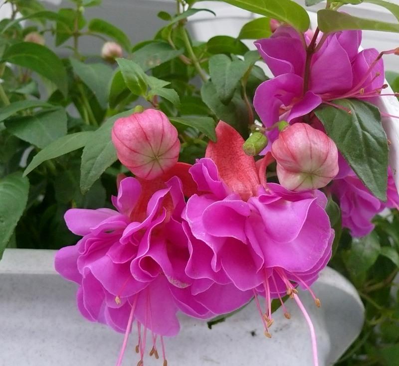 Фуксия - выращивание, размножение, уход