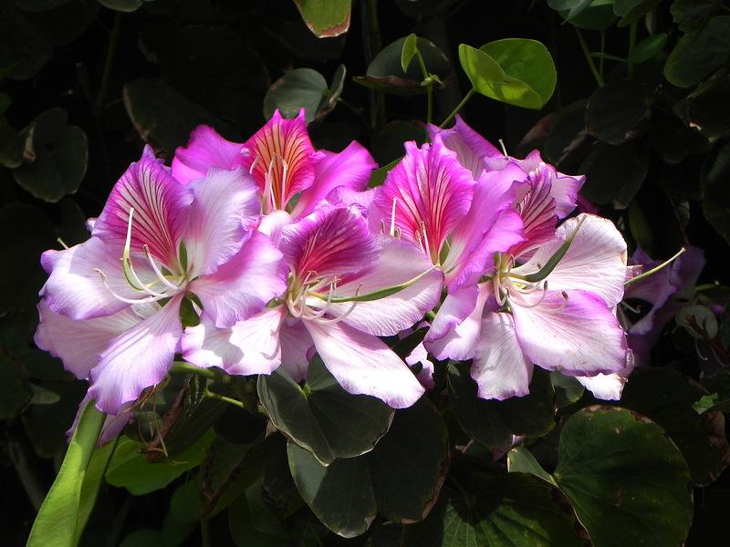 Баухиния- орхидейное дерево