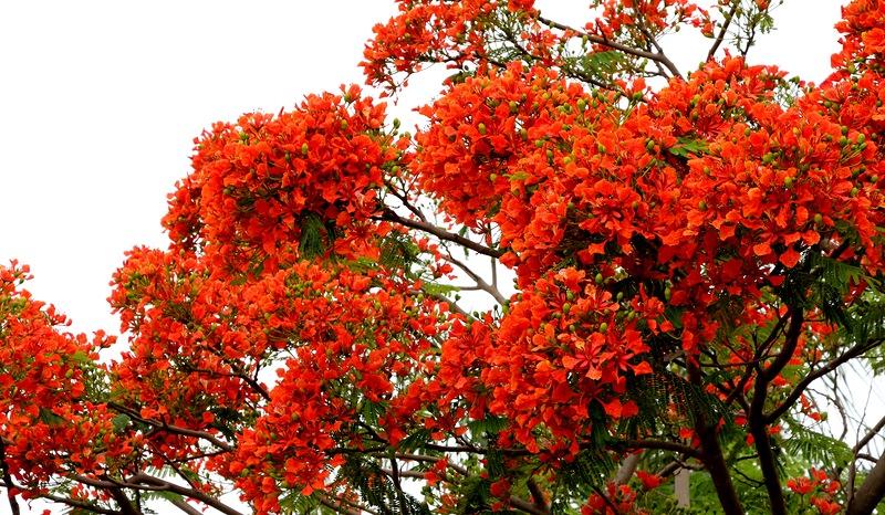Делоникс королевский Delonix regia- Огненное дерево