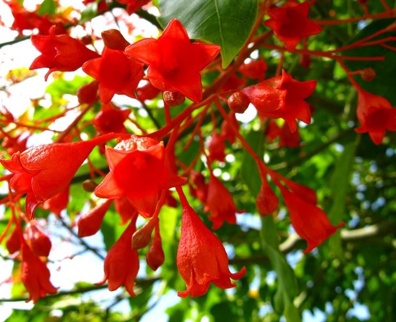 """Красиво цветущие деревья мира - """"Огненные деревья"""""""