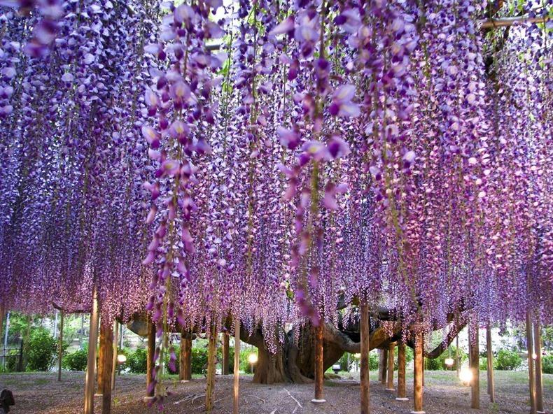 Асикага Flower Park, Япония