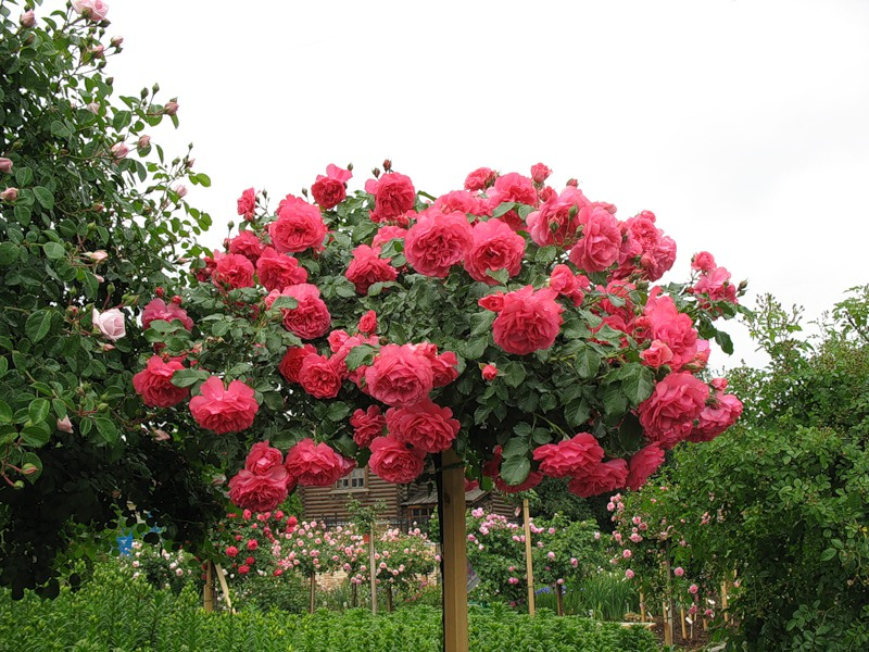 Роза плетистая, штамб 140 Розариум Ютерсен (Rosarium Uetersen) Kordes 1997 Посадка 2006 года