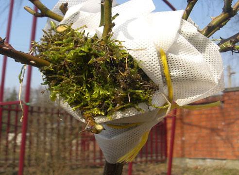 Как правильно посадить штамбовые розы