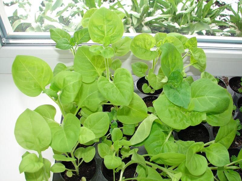 Петуния, как сеять и выращивать рассаду