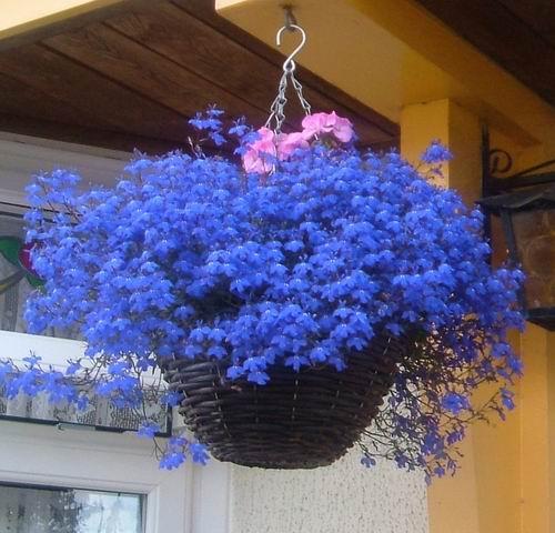 Лобелия —выращивание рассады, посадка, уход
