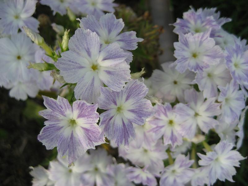 Флокс Друммонда-выращивание, посадка, уход