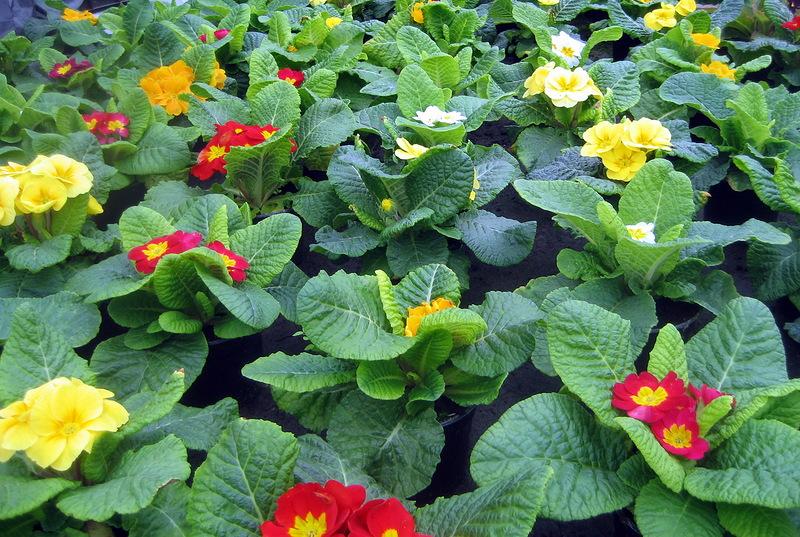 Выращивание примулы из семян. Размножение