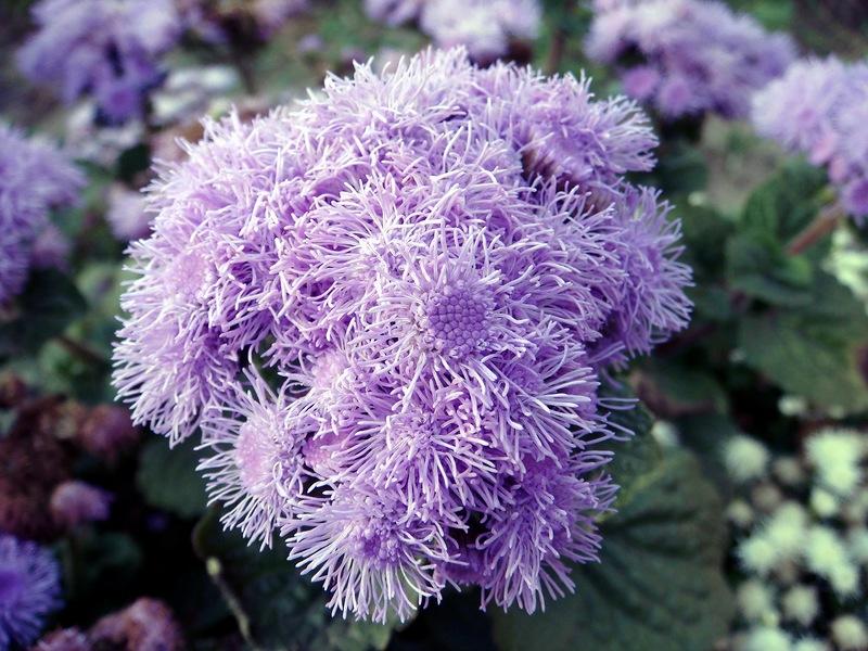 Агератум, долгоцветка. Выращивание рассады, уход