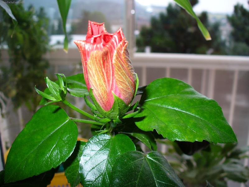 Гибискус, китайская роза! Выращивание, уход