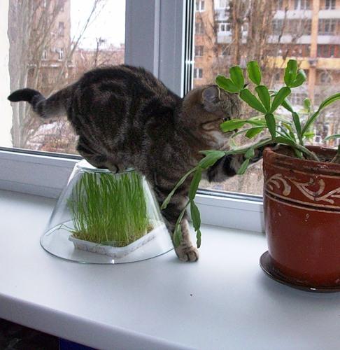 Как вырастить дома траву для кошки