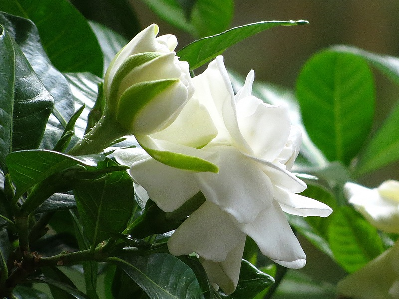 Гардения, нежная красавица! Выращивание дома