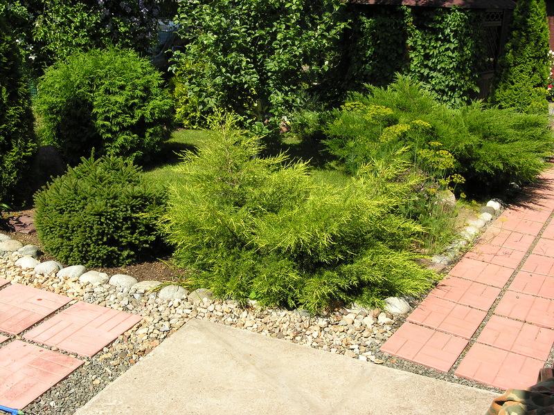 """Можжевельник китайский """"Kuriwao Gold"""" Juniperus chinensis """"Kuriwao Gold"""""""