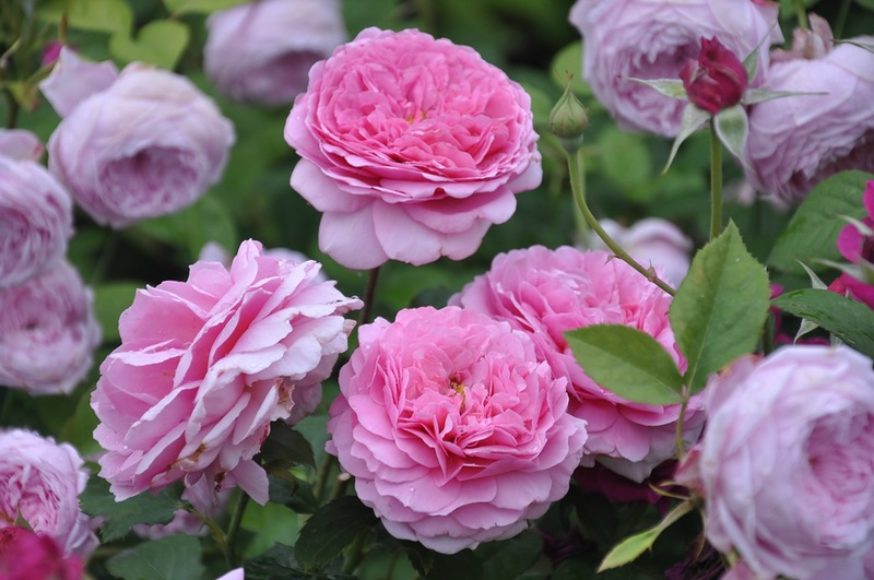 Розы Дэвида Остина. Выращивание, посадка, уход
