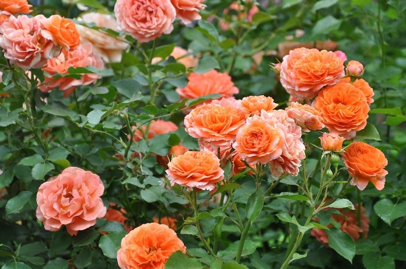 Популярные виды и сорта роз. Munstead Wood