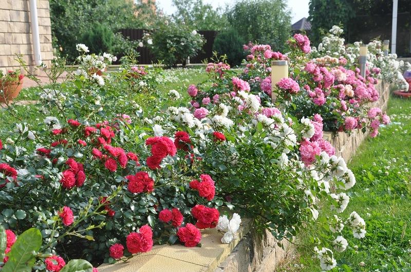 Почвопокровные розы Sea Foam, Gartnerfreude, Palmengarten Frankfurt