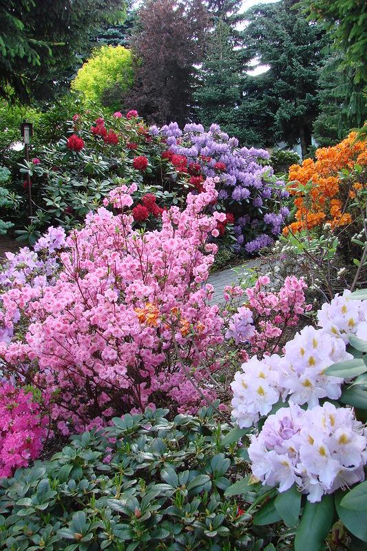 Рододендроны, важные моменты выращивания. Фото рододендронов