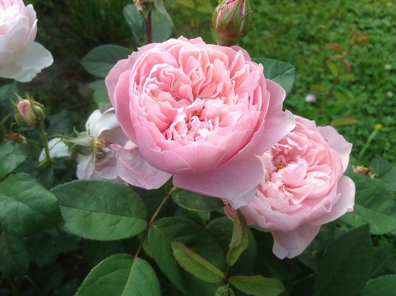 Простые методы размножения роз в саду. Возьмите на заметку!