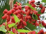 Шелковица-полезные свойства. Выращивание тутовника