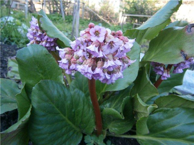 Белокопытник в саду. Особенности выращивания и назначение