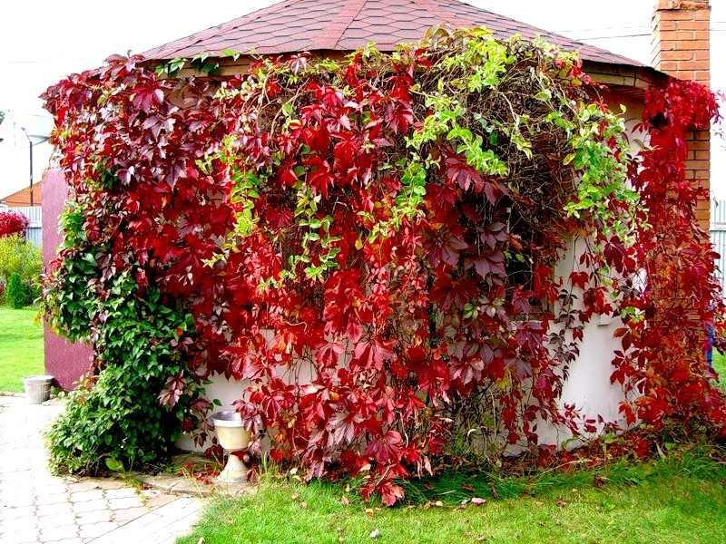 Девичий виноград в ландшафтном дизайне. Посадка, размножение