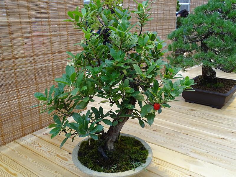 Земляничное дерево (arbutus) Бонсай