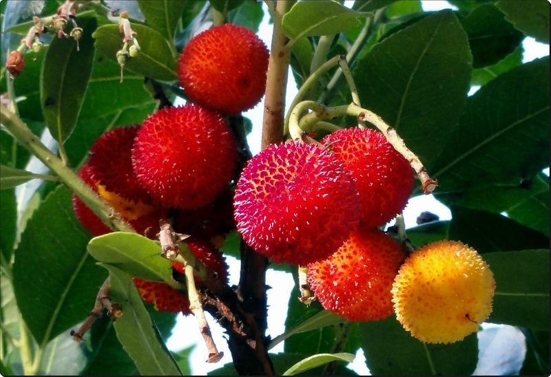 Земляничное дерево (arbutus)