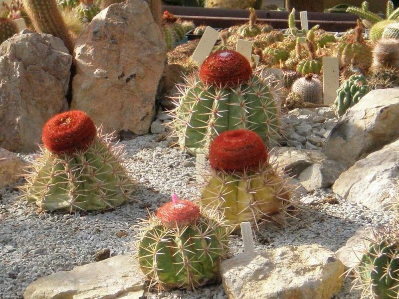 Мелокактус. Важные моменты для роста и выращивания